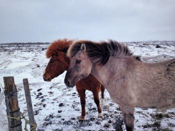 Icelandic Horses, Gauksmýri - Húnaþing, Northwest Iceland