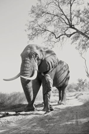 Semi-habituated Elephant, Botswana